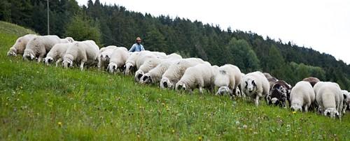 Brilschapen in de bergen van Zuid-Tirol