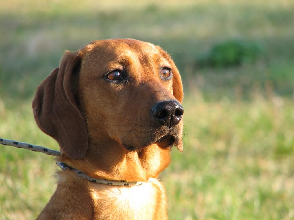 De jachthond, Il Segugio, volgt trouw de jager