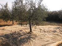 De-olijven-vallen-in-het-net-rond-de-boom.jpg