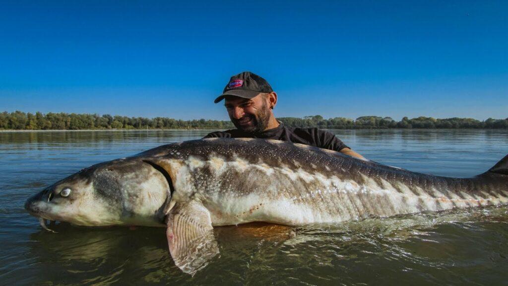 De steur zwemt ook in het wild in de Po-rivier. Yuri Grisendi visde een steur van 80 kilo uit het water