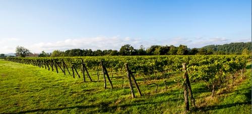 De wijngaard van de familie Bocelli