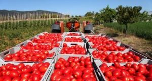 Tomatenoogst Campanie
