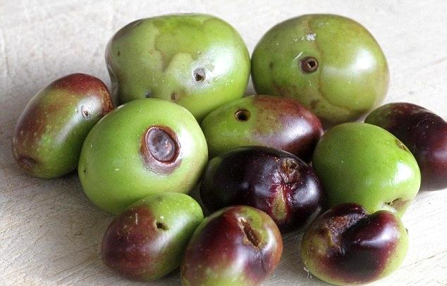 olijf met fruitvlieg