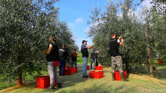 De oogst bij Paolo Bonomelli, maker van de enige topolie uit de regio Veneto
