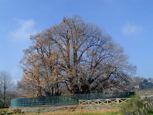 oudste kastanjeboom